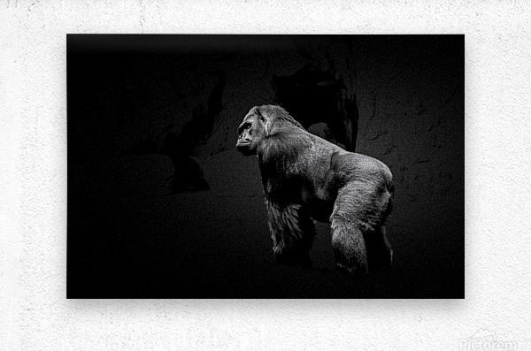 Silverback Gorilla Edit Edit  Metal print