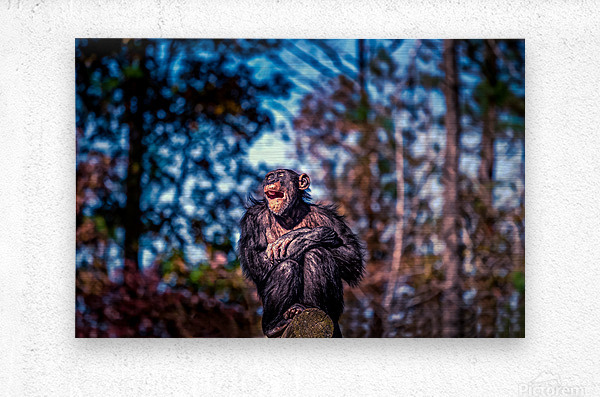 Old Chimpanzee  Metal print