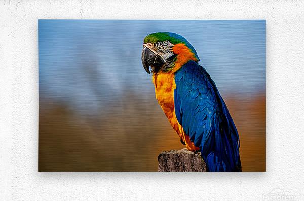 Parrot  Metal print