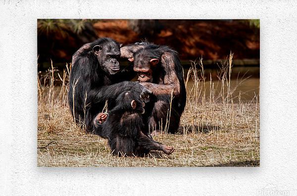 Chimpanzee Family  Metal print