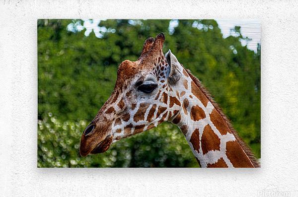 Reticulated Giraffe 1  Metal print