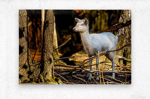 Fallow Deer 3  Metal print