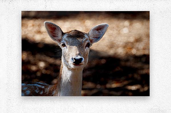 Fallow Deer 1  Metal print