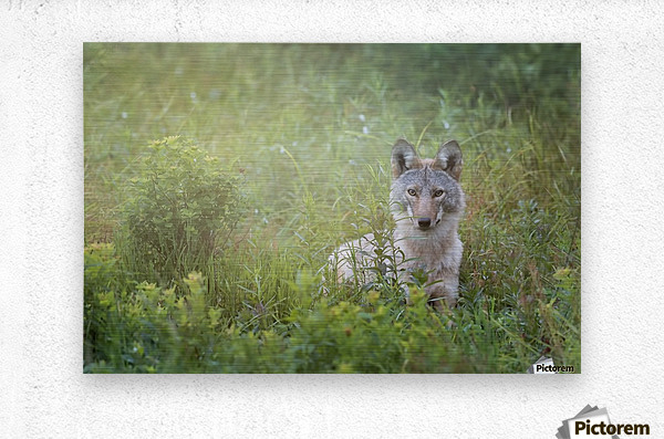 Eastern Coyote  Metal print