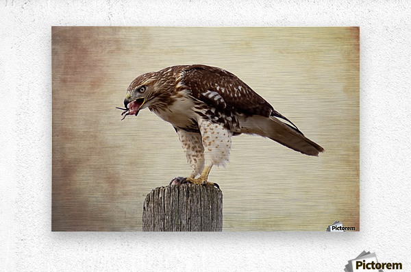 Meal Time for a Hawk  Metal print