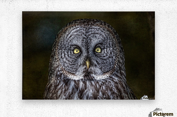 Stare Down with a Great Grey Owl  Metal print