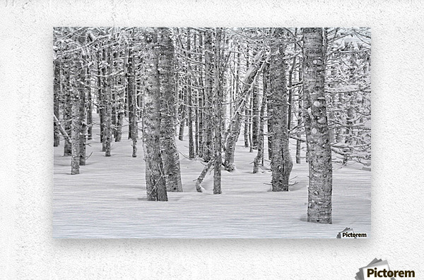 Pines at the Skyline Trail  Metal print