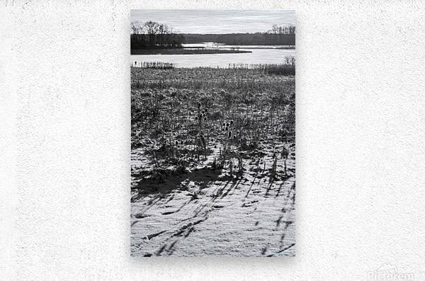 Cattails at Dawn  Metal print