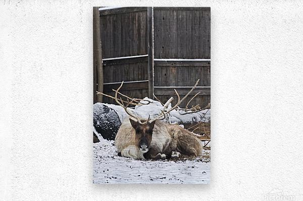 Enjoying the Snow  Caribou    Metal print
