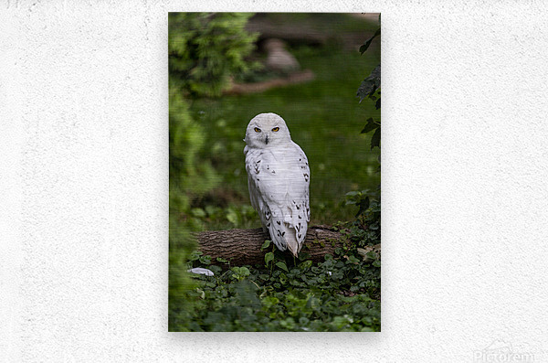 Yellow Eyes  Snow Owl   Metal print