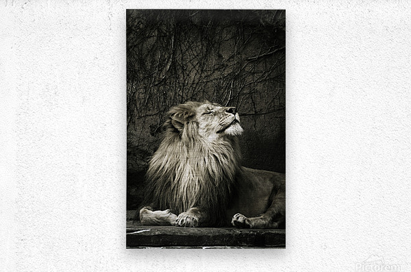 Chill of the Day  Lion   Metal print