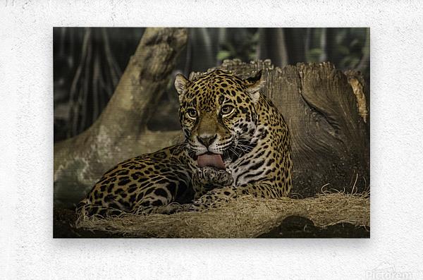 Morning Bath  Jaguar   Metal print