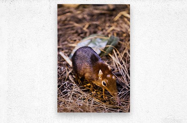 Small Elephant Mouse  Metal print