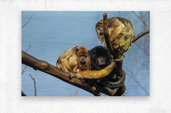 Eyes in the Trees  Howler Monkey   Metal print