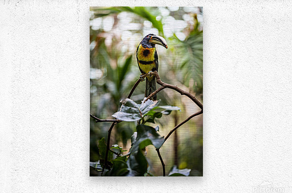 Standing Out  Tucan   Metal print