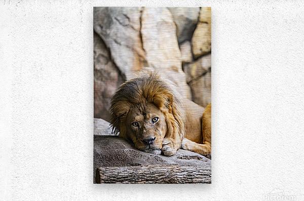Connection  Lion   Metal print