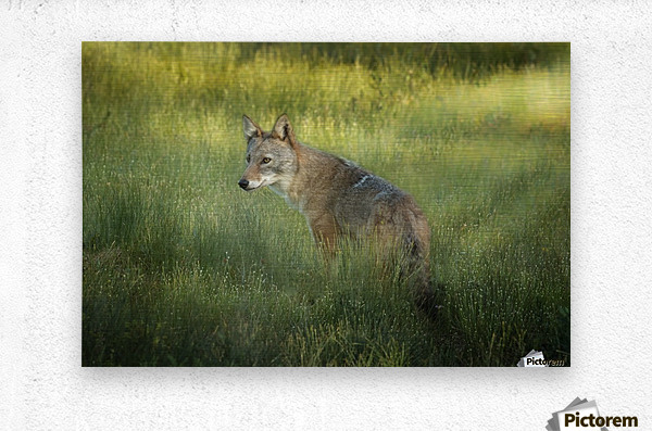 Evening Coyote  Metal print