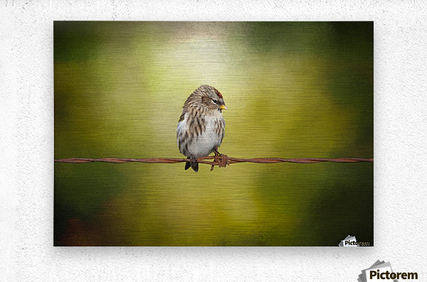 Redpoll on a Wire  Metal print