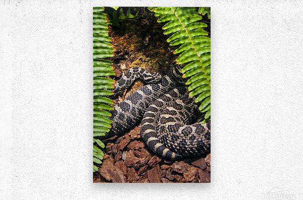 Soaking up Shade   Rattle Snake   Metal print