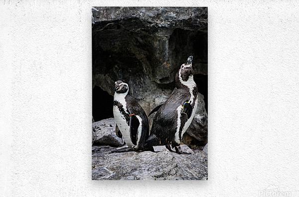 Posing for the Camera  Penguin   Metal print