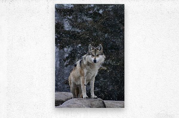 Cold Night Wolf  Metal print
