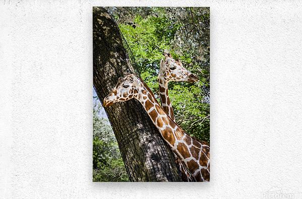 Spots Under Shadows  Giraffes   Metal print