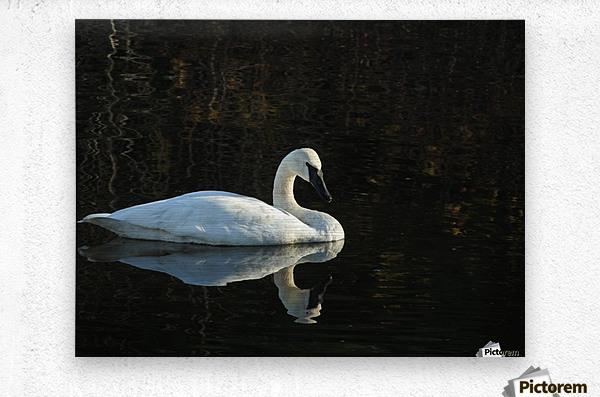 Trumpeter Swan at Estuary  Metal print