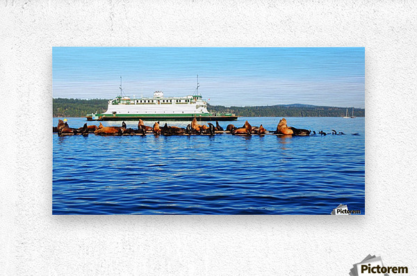 Sea Lions Hanging Out  Metal print