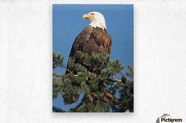Bald Eagle at Herring Season   Metal print