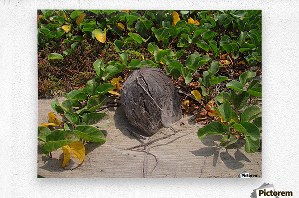 Coconut in the Sand  Metal print