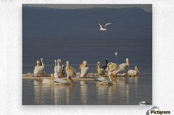 Pelicans of the Salton Sea  Metal print
