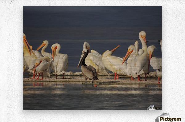 Pelicans at the Salton Sea  Metal print