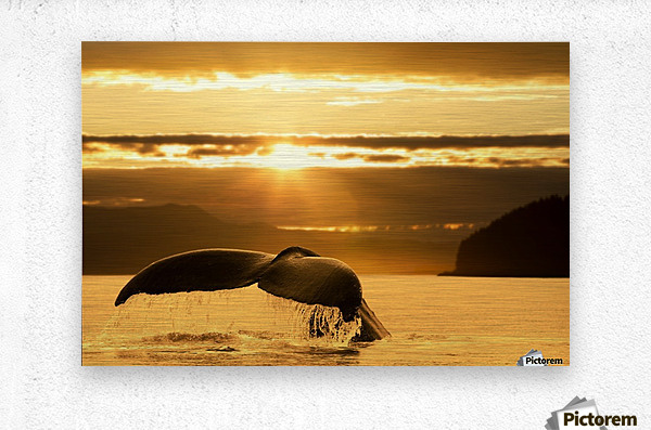 A Humpback Whale returns to the depths of Alaska's Inside Passage as the sun begins to set, Stephens Passage, near Juneau.  Metal print