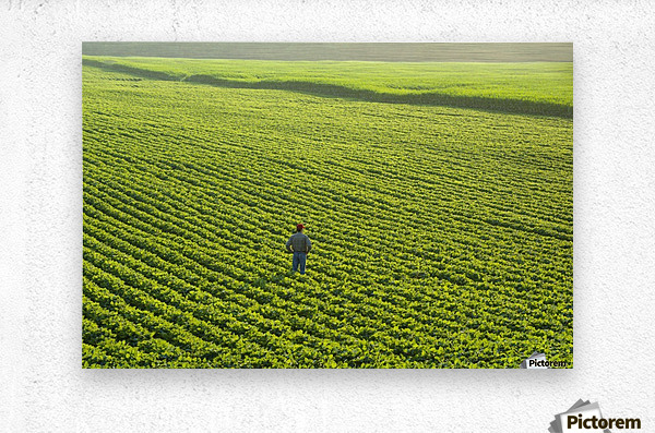 Portrait of a farmer walking through a large green soybean field in central Iowa in summer; Iowa, United States of America  Metal print