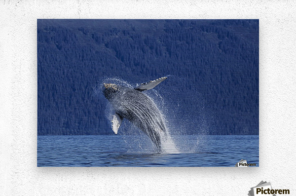A young Humpback Whale leaps from the calm waters of the Stephens Passage near Tracy Arm, Southeast Alaska, USA.  Metal print