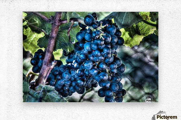 Bunches of Grapes  Metal print