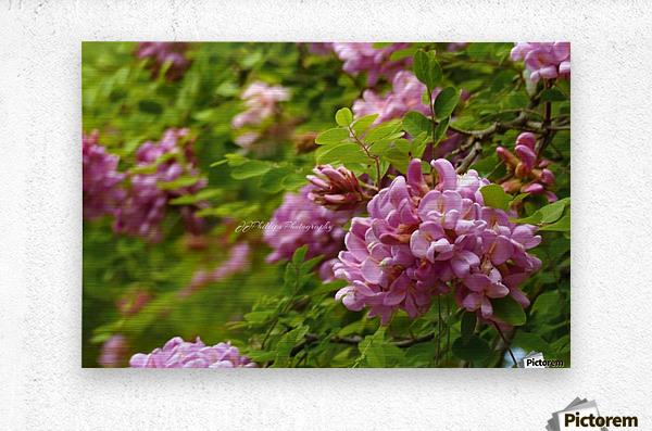 Rose Acacia Blossoms  Metal print
