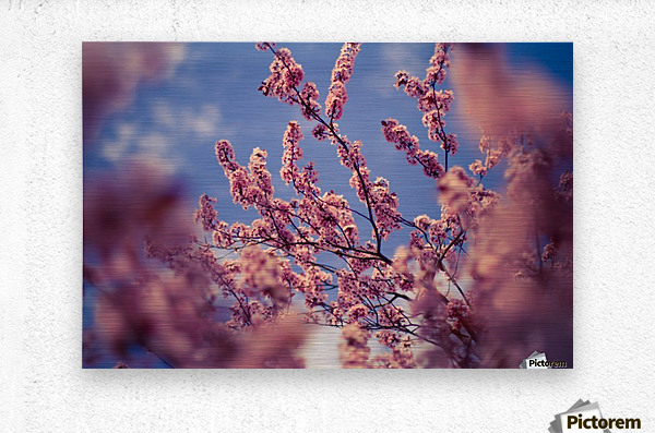 Spring cherry flowers  Metal print