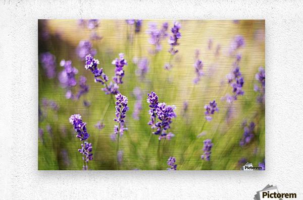 Lavender flowers  Metal print