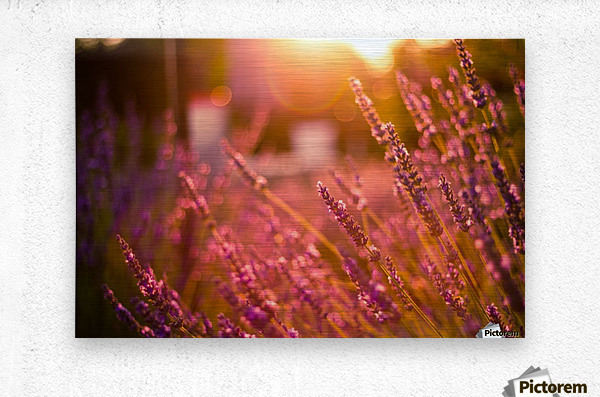 Sunset lavender flowers  Metal print