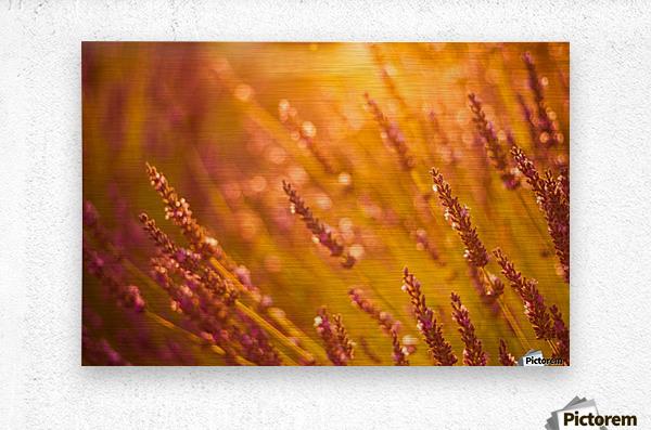 Sunset lavender flowers  Metal print