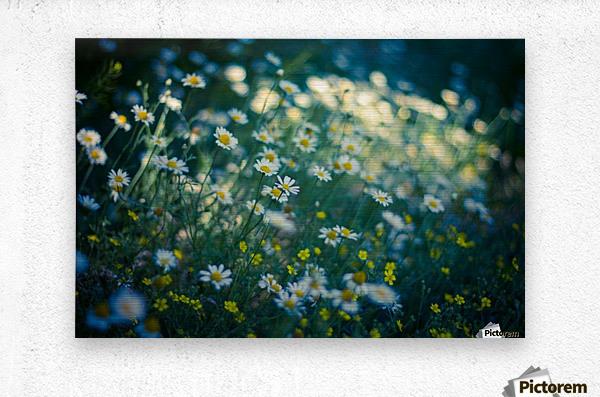 Summer, spring daisy field  Metal print