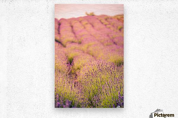 Beautiful Sunset lavender flowers on a field  Metal print