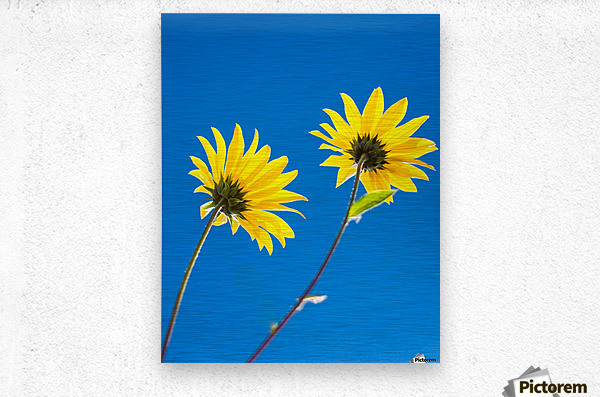 Yellow flowers and blue sky  Metal print