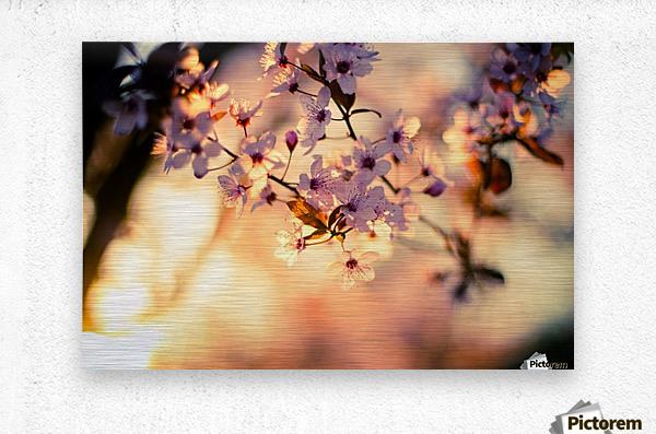 Beautiful Spring cherry flowers  Metal print
