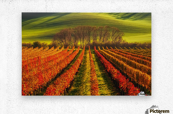 vine-growing  Metal print