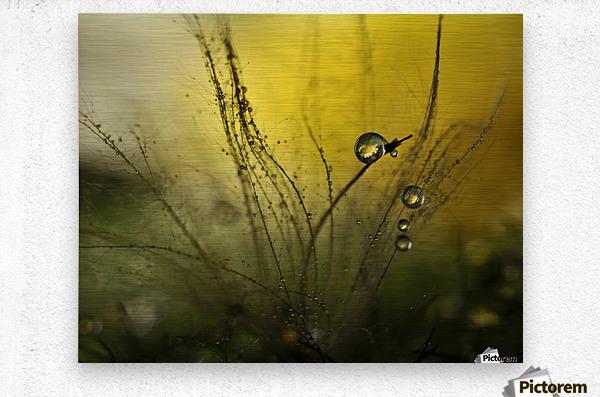 A golden morning shower  Metal print