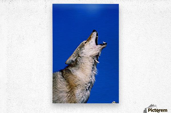 Howling Coyote  Metal print