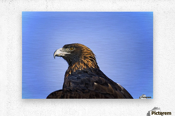 Golden Eagle  Metal print