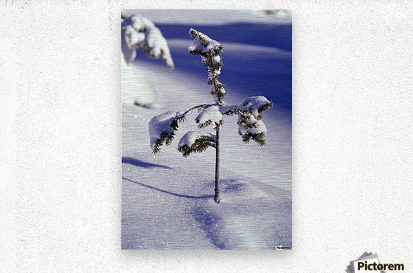 Heavy Snow On Young Pine Tree  Metal print